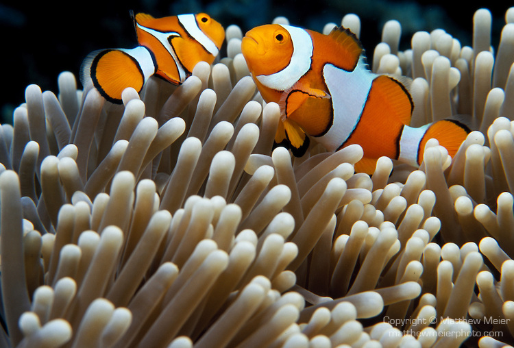 Bohóchal (Amphiprion sp.)